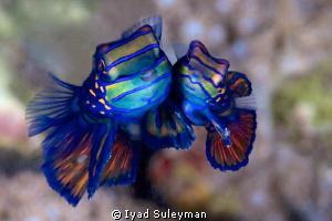 Mating of Mandarinfishes by Iyad Suleyman
