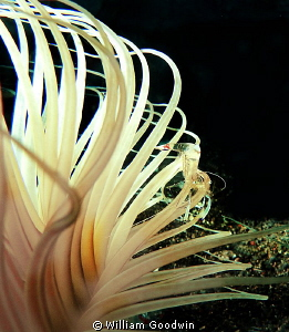 Tube anemone with shrimp - Lembeh. by William Goodwin