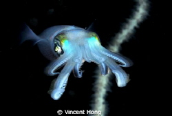 Frontal shot -night squid by Vincent Hong