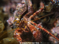 helmet crab at lobster bay 4m depth, size 5cm by Sheung Yue Alan Wan