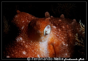 Octopus by Ferdinando Meli