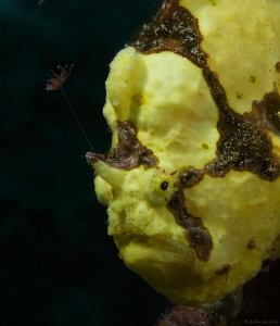 Bruce's ( Not in the hospitality business) Frogfish. 64 F... by John Roach