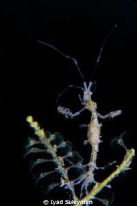 """""""Beautiful lady""""  Skeleton Shrimp  by Iyad Suleyman"""