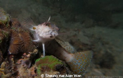 sandperch, size 5cm, depth: 6m, at Port Island divesite by Sheung Yue Alan Wan