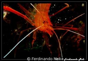 Shrimp (Stenopus spinosus) by Ferdinando Meli