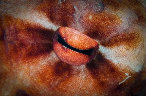 Octopus eye by Paul Colley