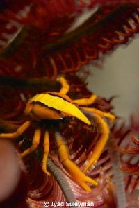Crinoid squat lobster (no crop) by Iyad Suleyman