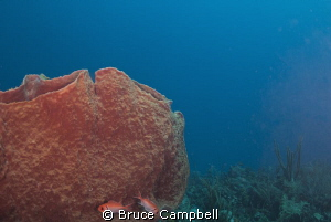 black bar soldier fish and barrel sponge by Bruce Campbell