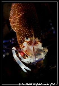 Shrimp (Female of Gnathophyllum elegans). by Ferdinando Meli