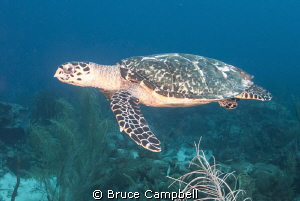 Turtle swimming over shark reef by Bruce Campbell