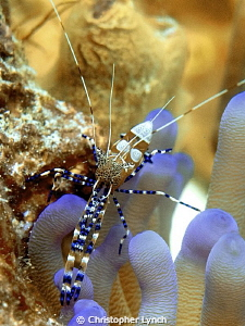 Spotted Cleaner Shrimp....natural light ...top of the ree... by Christopher Lynch