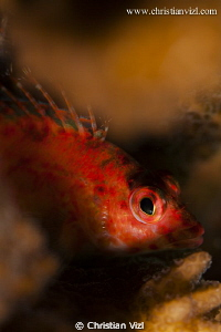 Close up of fish hiding in corals, Ixtapa Mexico. by Christian Vizl
