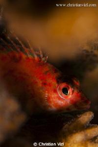 Close up of fish hiding in corals, Ixtapa Mexico. by Christian Vizl