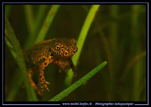 Face to face with this beautiful little Alpine newt....  ... by Michel Lonfat