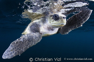 Close up of a Loggerhead turtle found 5 miles off the coa... by Christian Vizl