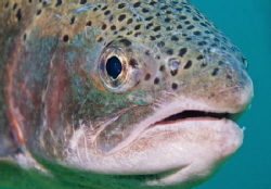Close up of a trout. by Spencer Burrows