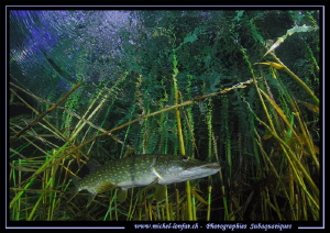 Adult Pike fish close to the surface.... by Michel Lonfat