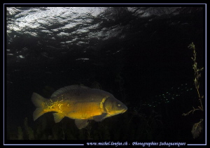 A huge Common Carp... ;O)... by Michel Lonfat