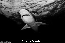 Beauty & Not a Beast/ Tiger Shark saying hello. by Craig Dietrich