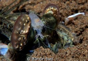 Mantis Shrimp with friend by Marylin Batt