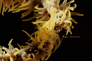 Xeno Shrimp -Whip Coral Shrimp by Suzan Meldonian