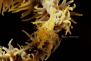 Xeno Shrimp -Whip Coral Shrimp by Suzan Meldonian