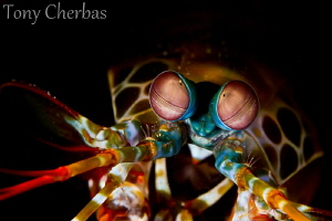 Creeper: Mantis Shrimp by Tony Cherbas