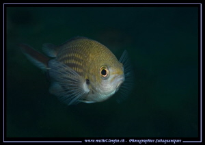 Little damsel fish... :O)... by Michel Lonfat