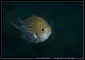 Little damsel fish... :O)... by Michel Lonfat