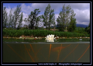 Water Lillies... :O)... by Michel Lonfat