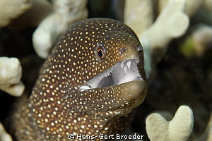 Whitemouth Moray Who needs toothpaste? www.bunakenhans.... by Hans-Gert Broeder