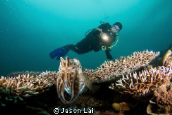 The charming and curious cuttlefish came to investigate o... by Jason Lai