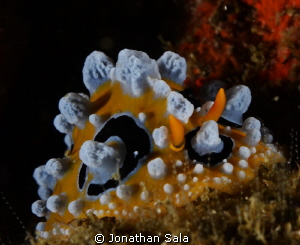 Phyllidia Ocellata, Malapasqua Island by Jonathan Sala