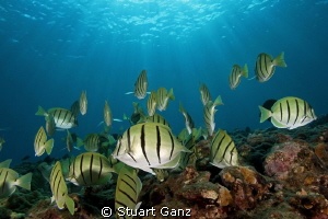 School of Convict tangs by Stuart Ganz