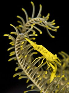 One more Periclemenes sp. on crinoid (part 2) by Alex Varani