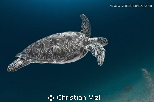 Green Turtle found in Akumal, Quintana Roo, Mexico. by Christian Vizl