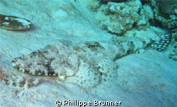 Joli poisson crocodile, tapis sur son fond de sable by Philippe Brunner