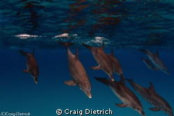 Take a Dive/ Dolphins about to go into the deep in the Ba... by Craig Dietrich