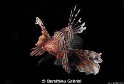 A lion fish by Barathieu Gabriel