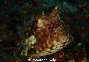 Box Fish... by Jonathan Sala