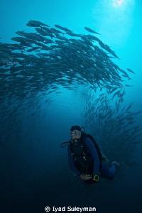 Schooling jackfishes & diver by Iyad Suleyman