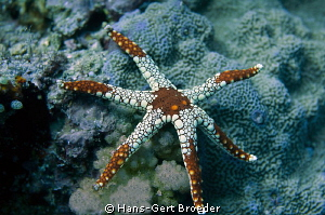 Necklace Seastar(Fromia monilis) -6 arms-