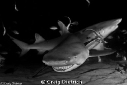 Big Smile/ Big Lemon Shark saying hello to me in the Baha... by Craig Dietrich