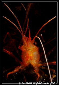 Shrimp's portrait. by Ferdinando Meli