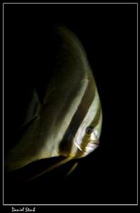 Platax in Dauin :-D by Daniel Strub