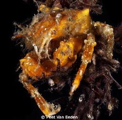 spider crab by Peet Van Eeden