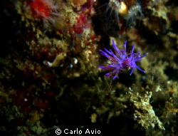 Flabellina affinis by Carlo Avio