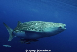 An elegant Whale Shark with its Remoras .. by Agung Djaja Rachwan
