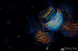 Mandarinfish@Lembeh Strait by Sherry Hsu