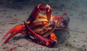 Crayfish porn? by Robert Michaelson